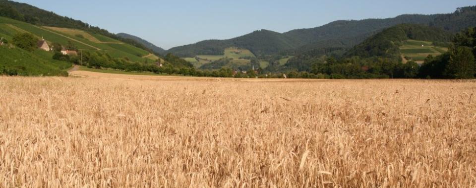 Getreidefeld im Glottertal