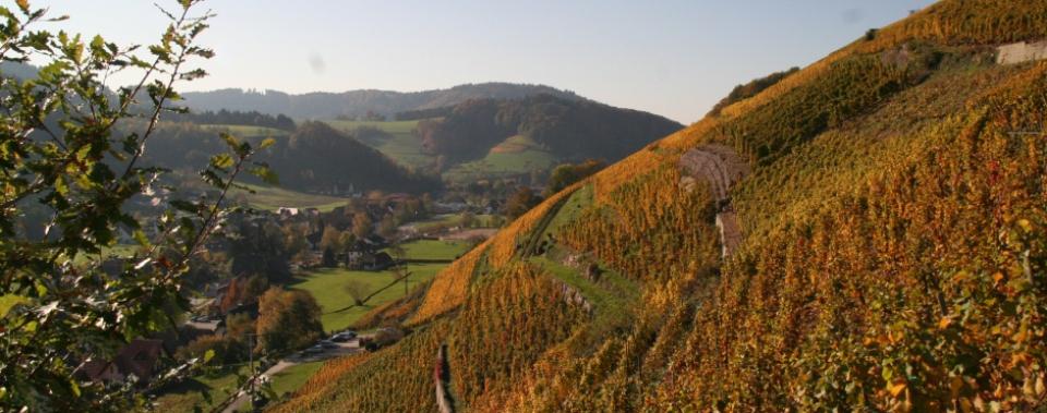 Glottertäler Reben im Herbst